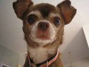 Chanel the chihuahua just full of chihuahua wisdom
