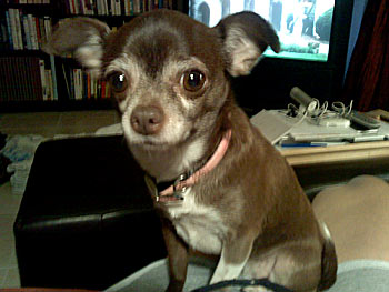 Chanel the chihuahua watches TV