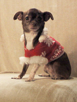 Chanel the chihuahua makes a fashion statement