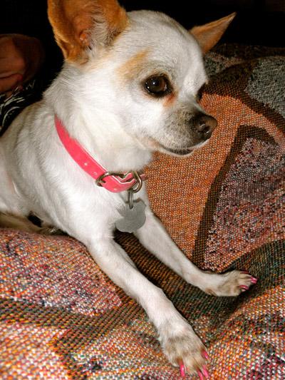 Chihuahua pedicure