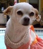 chihuahuas in pearls