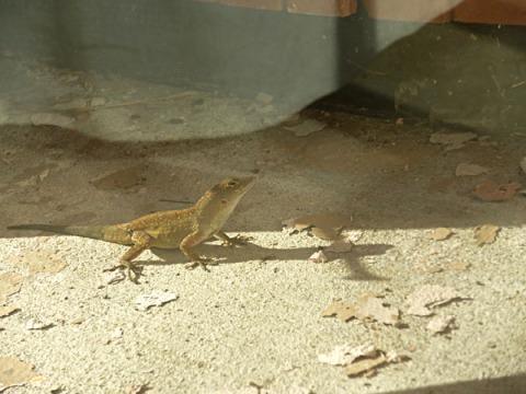 Lizard infiltrator
