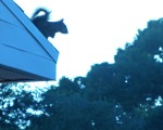 Dastardly squirrel on the roof