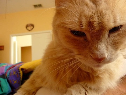 Tigger the cat is not sure what he thinks of his Chihuahua sister