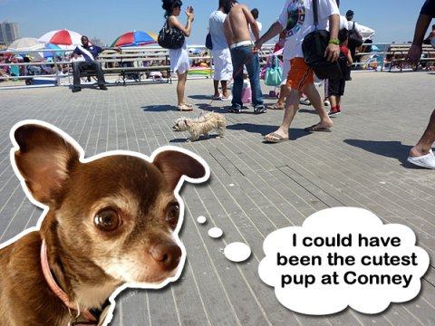 Chanel the Chihuahua at Conney Island