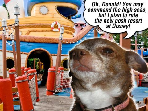 Chanel the Chihuahua wants to meet Donald Duck