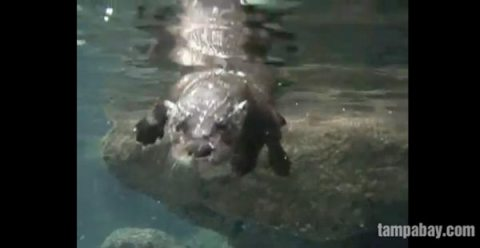 Otter swimming lessons