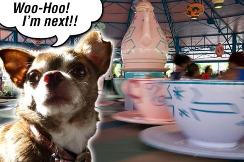 Chanel the Chihuahua wants to ride the teacups