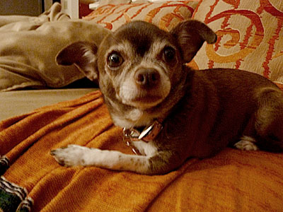 """Chanel the Chihuahua says, """"Whoops! Did I do that?"""""""