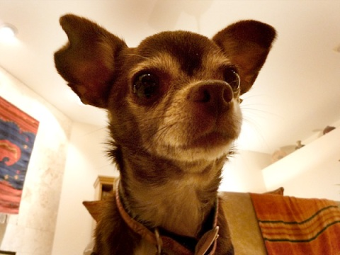 Chanel the Chihuahua is suspicious of her humans