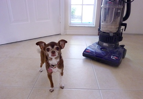 Chanel the Chihuahua diva against the evil vacuum