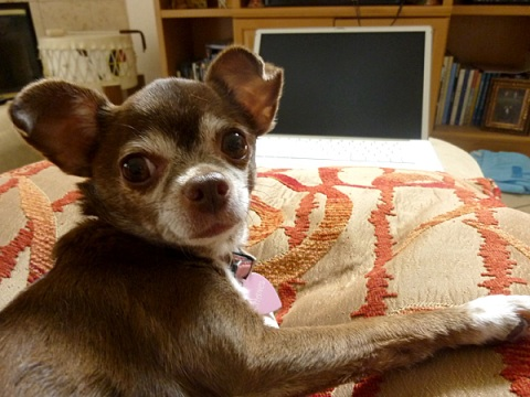Chanel the Chihuahua and Mom's official assistant