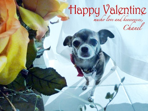 Happy Valentine from Chanel the Chihuahua
