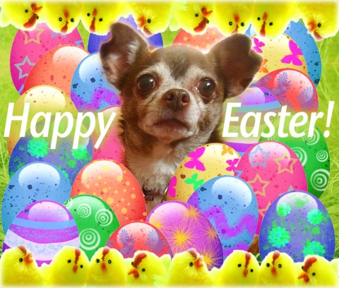 Chanel the Easter Chihuahua