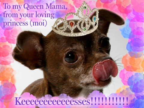 Chanel the Chihuahua slurps a Happy Mama's Day